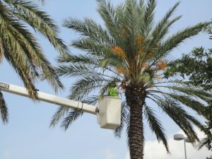 The Right Way and Wrong Way to Prune a Palm Tree