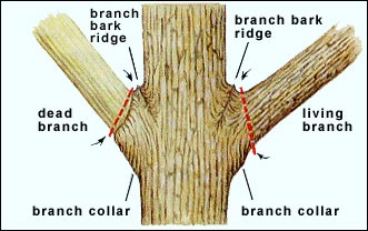 diagram of tree branches