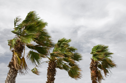 palm trees being harshly blown by windstorm
