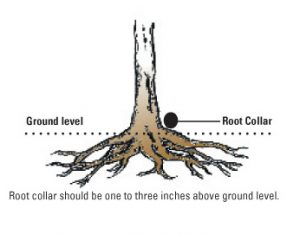 Healthy Trees Start With Proper Root Collar Care