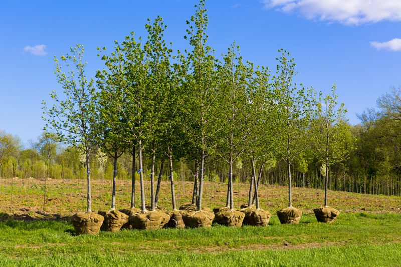 trees ready to be planted