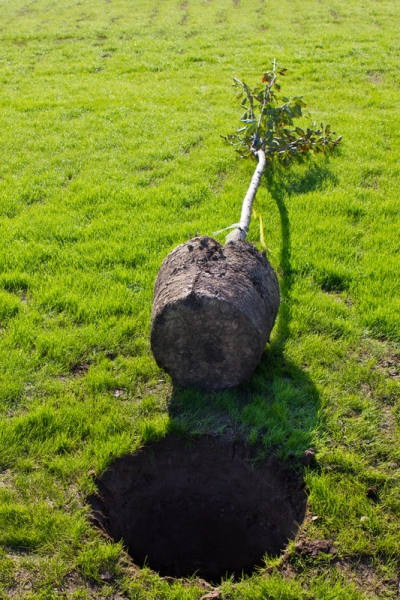 Read more about the article Common Tree Planting Mistakes, Part Two