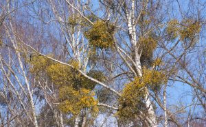 Read more about the article Mistletoe: Not Just Holiday Tradition, But Also A Threat To Trees