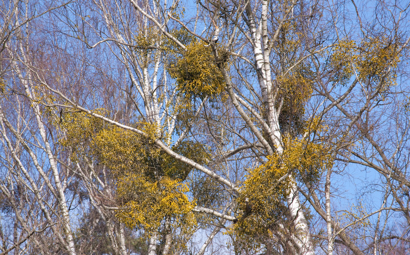 Mistletoe: Not Just Holiday Tradition, But Also A Threat To Trees
