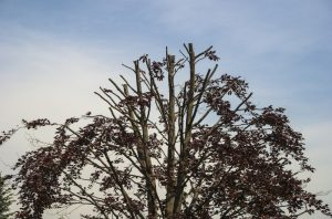 Read more about the article Understanding The Dangers of Tree Topping