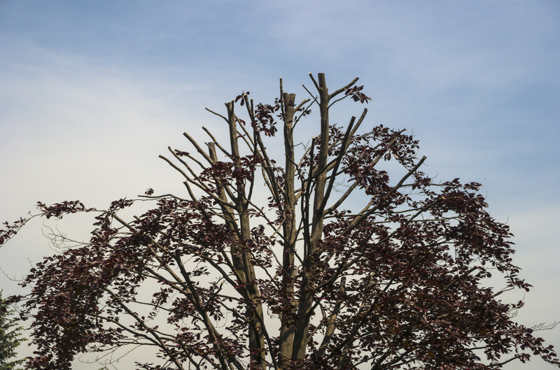 Understanding The Dangers of Tree Topping