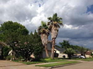 Palm Trees Benefit From Regular Tree Maintenance