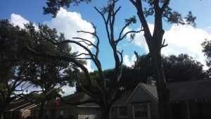 Three Ways Trees Can Be Hurt By Poor Tree Pruning