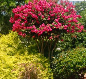 What You Should Know About Crepe Myrtle Trees